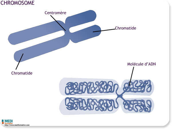 cours ifsi la cellule - Le chromosome