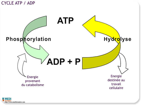 Cycle ATP/ADP
