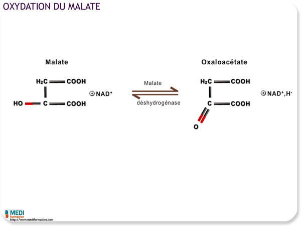Oxydation du malate
