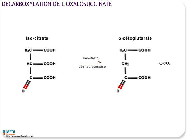 Décarboxylation de l'oxalosuccinate