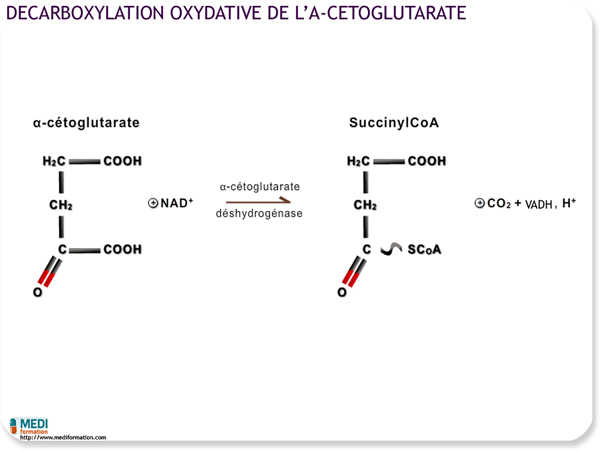 Décarboxylation oxydative de l'alpha-cétoglutarate