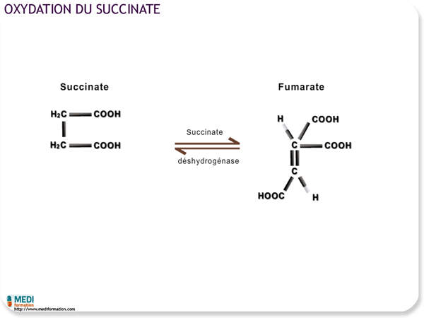 Oxydation du succinate