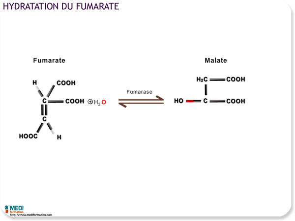 Hydratation du fumarate