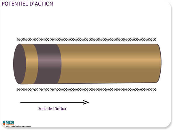 Propagation du potentiel d'action