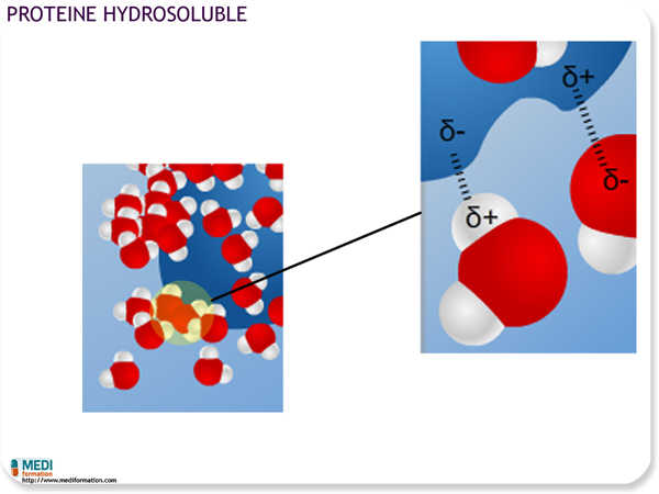 Protéine hydrosoluble